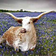 Texas A&M Stone Drink Coaster. Farm Animals, Animals And Pets, Cute Animals, Longhorn Cattle, Texas Bluebonnets, Loving Texas, Cow Painting, Lone Star State, Cute Cows