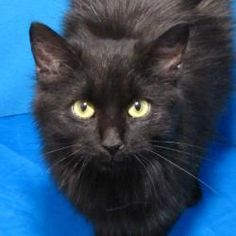 Clover is an adoptable Domestic Long Hair-Black Cat in Springfield, IL.  ...