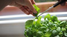 Zvládněte umění střihu bazalky, bude vám košatět celé léto - iDNES.cz Celery, Spinach, Vegetables, Garden, Garten, Lawn And Garden, Vegetable Recipes, Gardens, Gardening