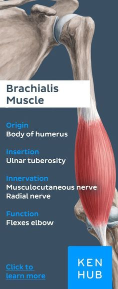 The brachialis muscle is a prime flexor of the forearm at the elbow joint. Learn its anatomy (origin and insertion, action and innervation) now at Kenhub! Hand Therapy, Massage Therapy, Physical Therapy, Forearm Anatomy, Upper Limb Anatomy, Shoulder Anatomy, Body Diagram, Gross Anatomy, Musculoskeletal System