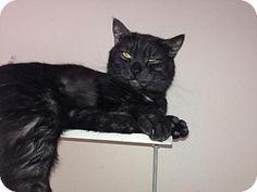 Staten Island, NY - American Shorthair. Meet Grisaldo, a cat for adoption. http://www.adoptapet.com/pet/10614273-staten-island-new-york-cat