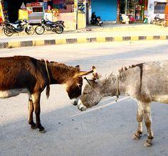Udaipur, India, Donkey love | Flickr - Photo Sharing!
