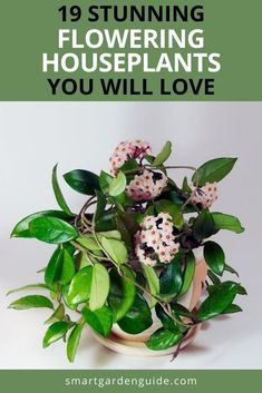 These beautiful flowering houseplants are hard to resist. There is nothing more cheerful than a healthy, blooming houseplant in your home. I've picked my favorites that suit a range of growing conditions. Indoor Flowering Plants, Blooming Plants, Outdoor Plants, Pot Plants, Garden Plants, Phalaenopsis Orchid, Orchids, Hindu Rope Plant, Goldfish Plant