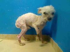 PRECIOUS is an adoptable Maltese Dog in Brooklyn, NY.  She is scared and is in need of someone she can trust and latch onto to be her security and faith in life. Please, someone help.