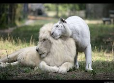 White Lions, Tigers Join Animal Family At Jungle Island