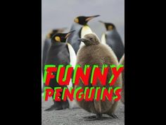 Happy Animals-Wild-Penguins-Happy Funny Problem Solving Penguins - YouTube