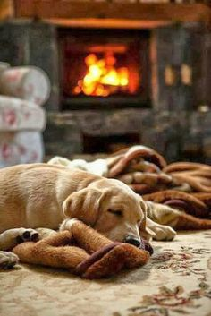 Yellow Labrador puppy found a cozy spot to sleep in front of the fireplace. #Lab #Winter The essence of joy.