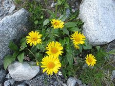 Arnica Montana, Herbalism, Flora, Cancer, Spirituality, Vegetables, Nature, Side Effects, Medicinal Plants