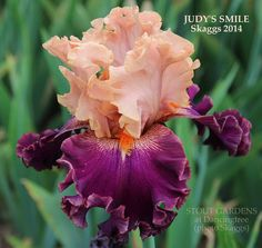 Iris JUDY'S SMILE | Stout Gardens at Dancingtree