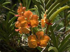 Orkideat - Tietokoneen taustakuvat: http://wallpapic-fi.com/luonto/orkideat/wallpaper-10222