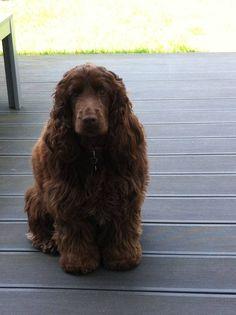 Dog - English Cocker Spaniel - Looks like Chloe:)