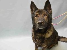 **VERY URGENT!** Handsome shepherd 'to be destroyed' at shelter because owner is selling house