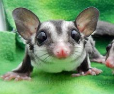 Whiskey is a delightful dark grey sugar glider joey and one of some available here at NH Sugar Gliders ..