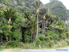 Rhopalostylis sapida (Nikau Palm) - Not actually listed as being present in our particular Lyttelton Harbour Basin Ecosystem. but I rule I think I will have to break ; Basin, Nativity, Palm, Trees, Education, Plants, The Nativity, Tree Structure, Plant