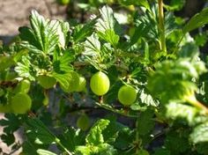 Garten und Landleben: Stachelbeeren schneiden - Tipps