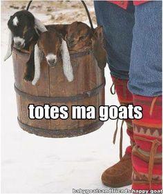 totes ma goats =) #babygoatfarm #goatmemes