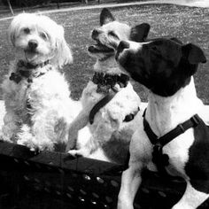 muffin/rebelde/honda is a contestant for True Chews Dog of the Week! #TrueChews