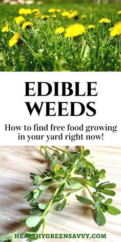 Weeds you can eat Did you know many common weeds are edible AND delicious Also very nutritious Is your yard overrun by dandelions Purslane Dont despair Enjoy the free fo. Healing Herbs, Medicinal Plants, Natural Medicine, Herbal Medicine, Dame Nature, Dandelion Recipes, Edible Wild Plants, Wild Edibles, Edible Garden