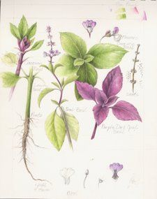 Thai Basil (Hudson Valley Seed Library)