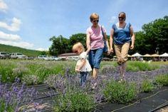 Festival draws hundreds to Hope Hill Lavender Farm - News - Republican Herald