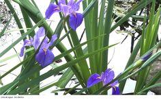 Lírio de agua - Iris sibirica