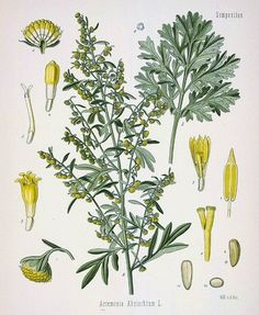 """Artemisia absinthium  - Wormwood  -The word """"wormwood"""" comes from Middle English """"worm-wode"""" or """"wermode"""". The form """"wormwood"""" is influenc..."""