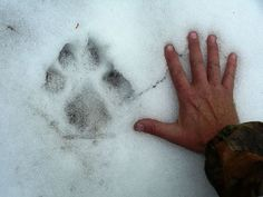 Why It Matters When Species Go Extinct: A man's hand beside a wolf track.