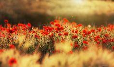 Poppy & sunset