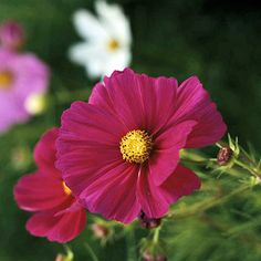 Cosmos..Another must-have annual for sunny cottage gardens, cosmos offers ferny foliage and daisy-like flowers in shades of pink, magenta, white, yellow, and orange. The plants don't mind hot, dry locations, so they're ideal for low-maintenance gardens, too. And they often self-seed.