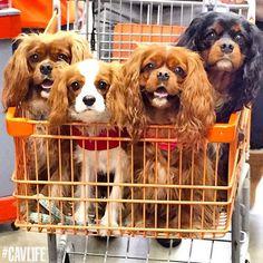 A basket full of Cavalier cuteness!