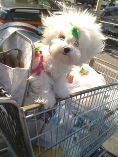 Oh my goodness.... I looovvveee this pic its just so darn cute! Grocery shopping :) #Maltese