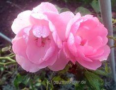 Gourmetkaters Garten: Ein später Gruß des Sommers.... #flower #rose #garden