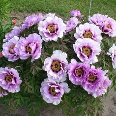 angel emily peony | Solaris Farms...Gansu Mudan (rockii) Catalog