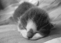 Sleeping Newborn Kitten.