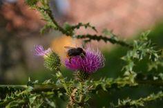 Hummel auf einer Distel - Bumblebee on a thistle  http://trashography.blogspot.de