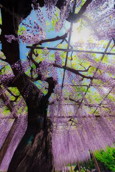 Wisteria trees at Mandara-ji Park, Aichi, Japan