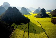 Blooming fields of rapeseed plants weave around hills near Luoping in Yunnan Province, China
