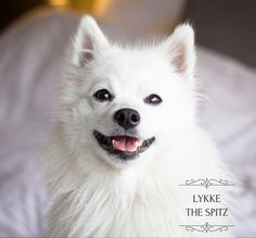 """602 likerklikk, 68 kommentarer – FRIENDLY DOG  - LYKKE  🎀 (@lykkethespitz) på Instagram: """"Who here likes bath time? Not me 😒🛁 Just a little reminder to everyone: Do you want to get notified…"""""""