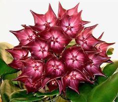 Hoya macgillivrayi - Flor de Cera - Jardim Exótico - O maior portal de mudas do Brasil.