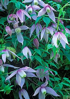 Clematis Alpina - these are so pretty - love the color palette