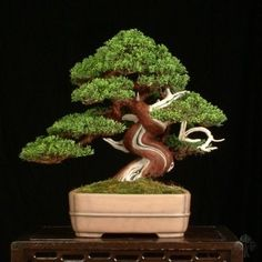 Juniperus Chinensis bonsai