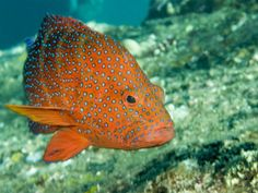 Blue Spotted Grouper - also known as Coral Hind - Bali - Indonesia