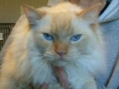 Ace is an adoptable Ragdoll Cat in Waynesboro, PA. Meet Ace! He is a sweet and gorgeous Ragdoll. He came to the shelter when his previous was unable to care for him due to illness. He is the typical R...