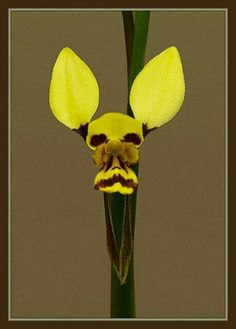 Looks like an old man with rabbit ears.  But its an orchid.