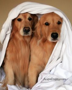 Under-cover Golden Retrievers