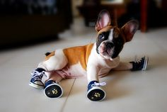 Frenchie pup with shoes on