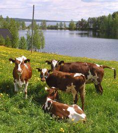 #Cows #Biomilk #Summer #Eating flowers