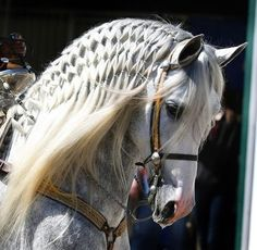 Braided Andalusian love the braiding