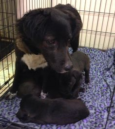 Urgent foster hero needed please for Joanie and her five young babies.  If you can help, please visit Nevada SPCA (www.nevadaspca.org) in person before 4pm and ask for DJ.  This morning a maintenance worker at an apartment complex found this Border Collie mix and her puppies in an abandoned apartment.  We named her Joanie.  She is at least partially deaf, very gentle, and shows signs of severe neglect.  The foster commitment for Joanie and her babies will be approximately 8 weeks.