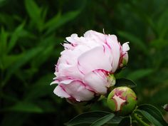 Surgery pink peonies in bloom at Shirley Plantation!
